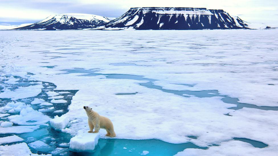 Los osos polares cazan sus presas desde el hielo y éste está disminuyendo cada año en el Ártico.