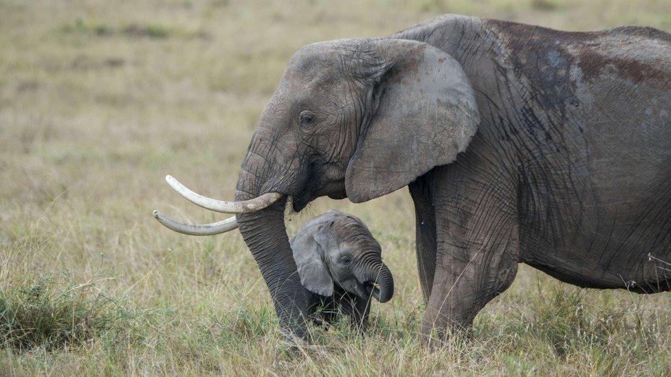afrička beba slon