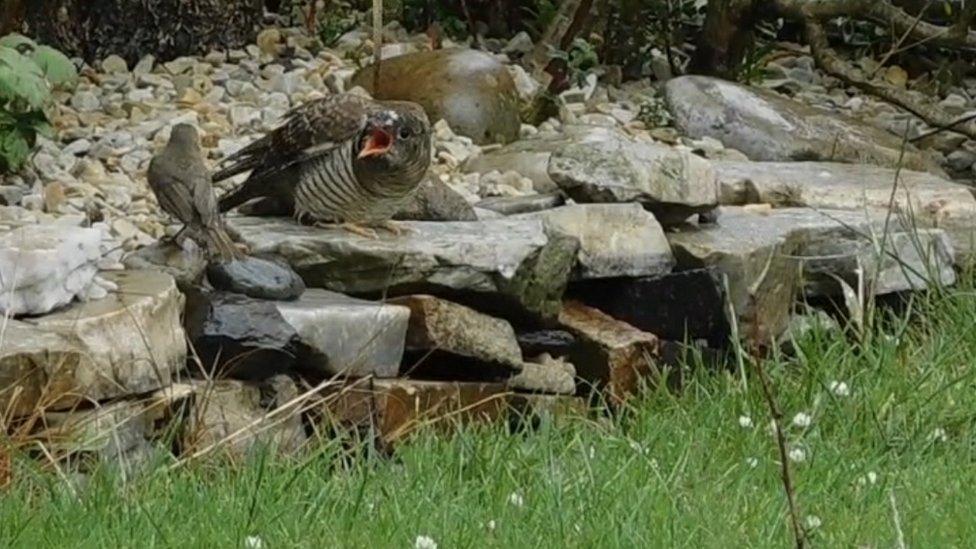 Robin and cuckoo