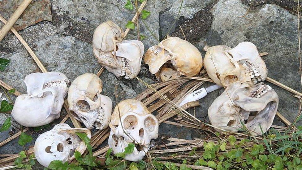 Monkey skulls