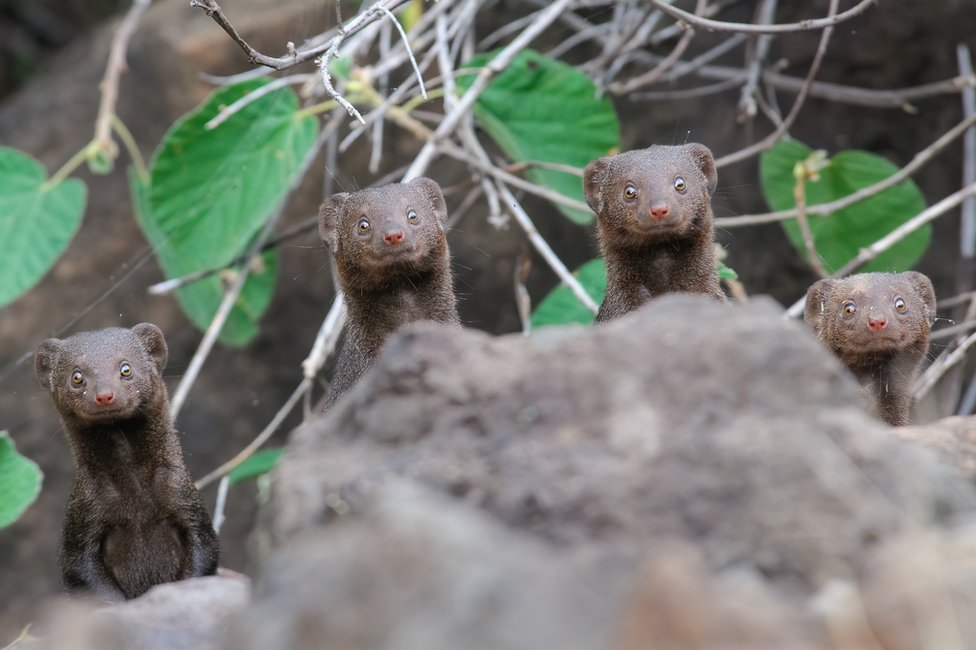 Four mongoose looking up with wide eyes