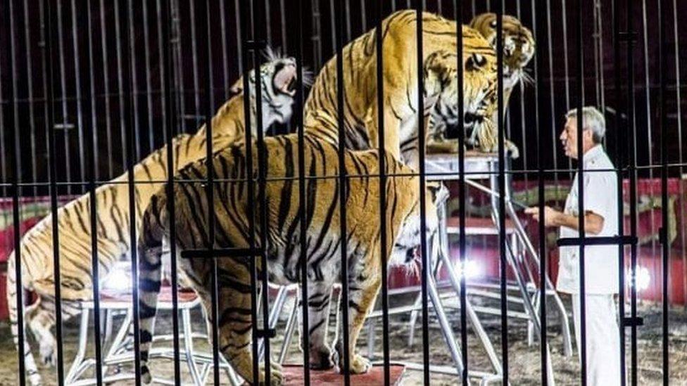 Etore Veber sa tigrovima