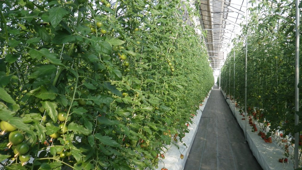 無土栽培西紅柿