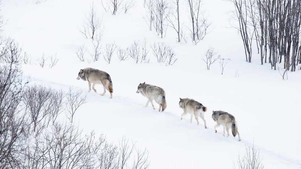 Vukovi u zavejanim norveškim šumama