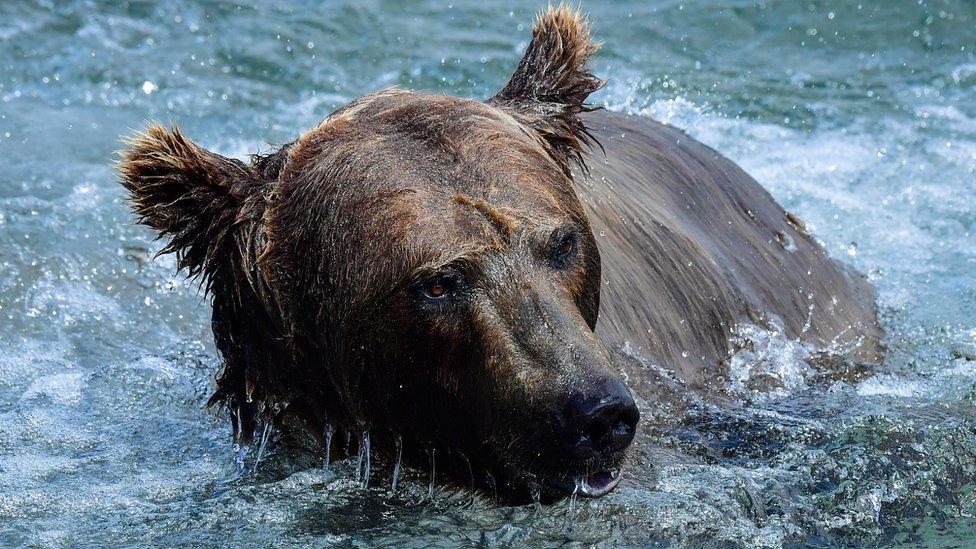 A female brown bear fishing in Russia's far-eastern Kamchatka region