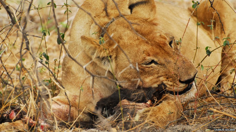 A lioness chewing on a kill
