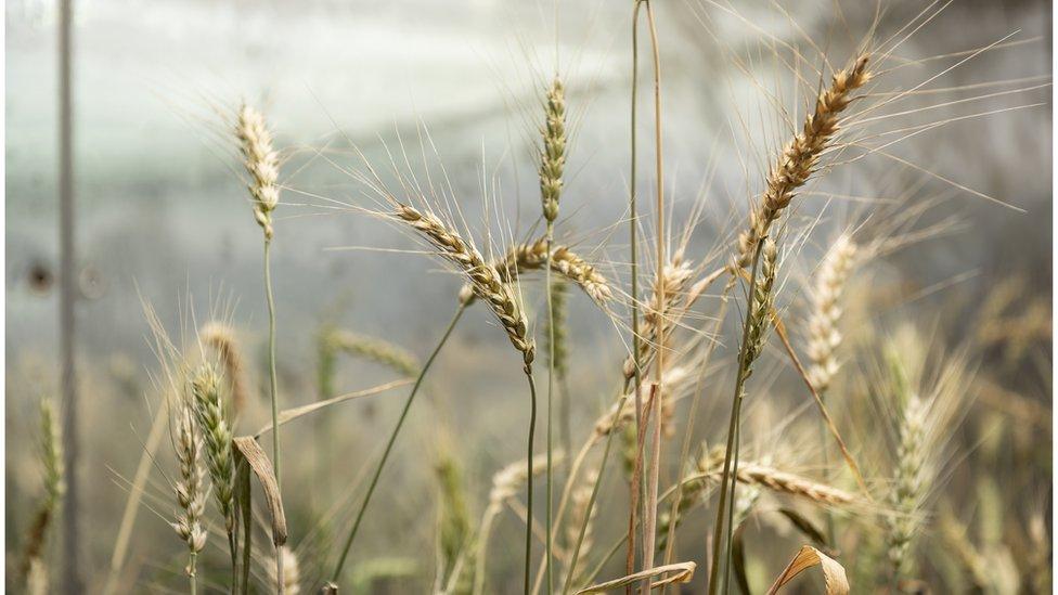 Genetiği düzenlenmiş buğday daha fazla ürün verilmesini sağlayabiliyor