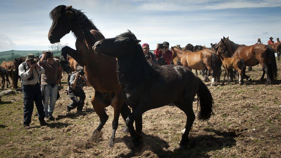 Fotógrafos toman imágenes de caballos salvajes en Saucedo, cerca de Santiago de Compostela, España.