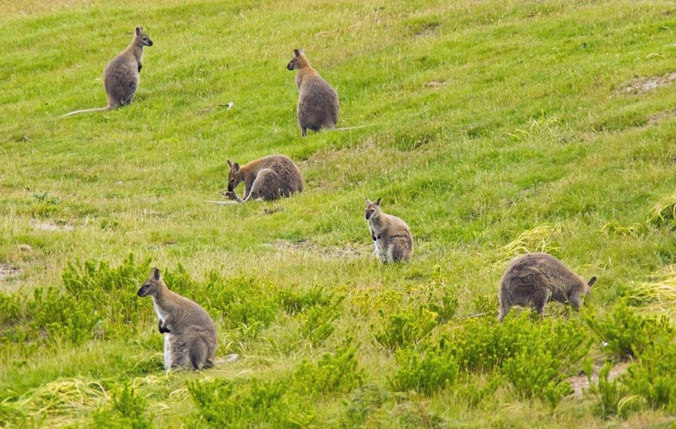 The Man Who Culls Wallabies By The Thousand Bbc News