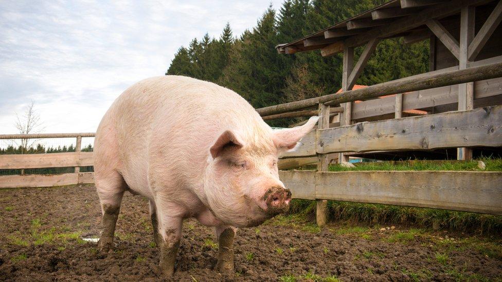 Un cerdo en una granja.