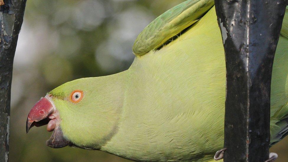 Parakeet in a park
