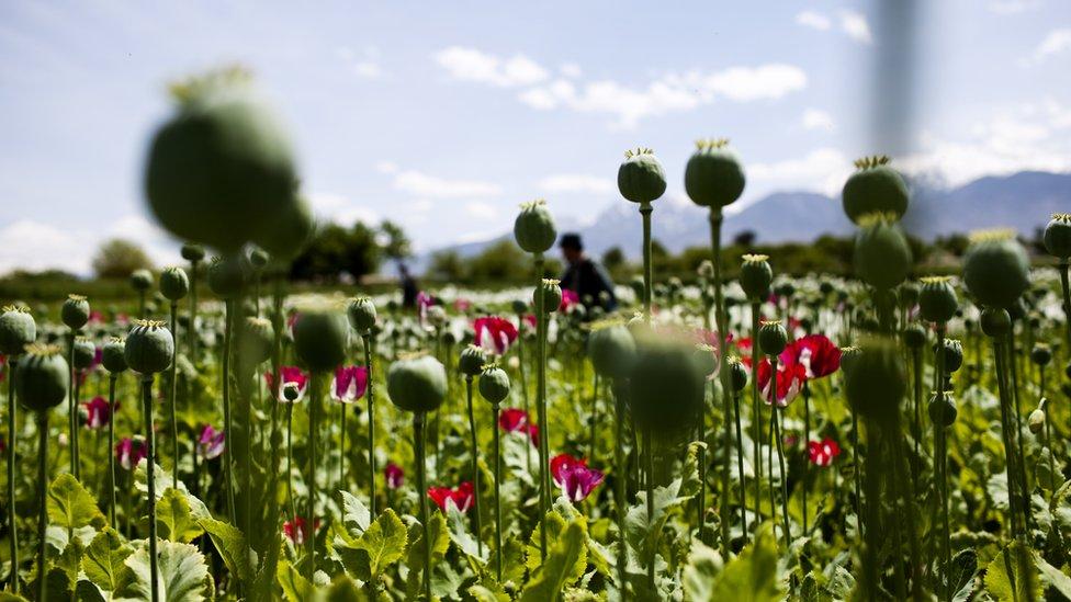 Campos de amapolas de heroína en Afganistán
