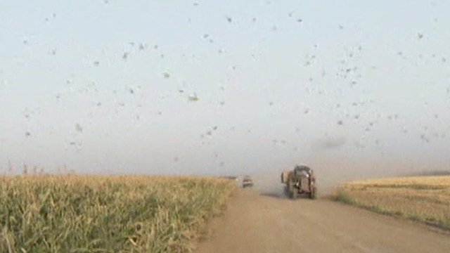 Locusts flying over crops
