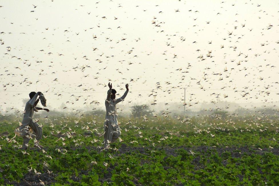 巴基斯坦城市蘇庫爾外圍的農田裏,農民們努力想趕走一群蝗蟲。