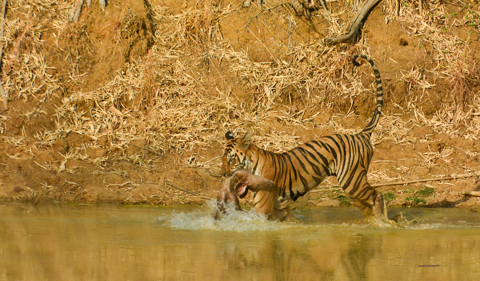 Tigar s plenom