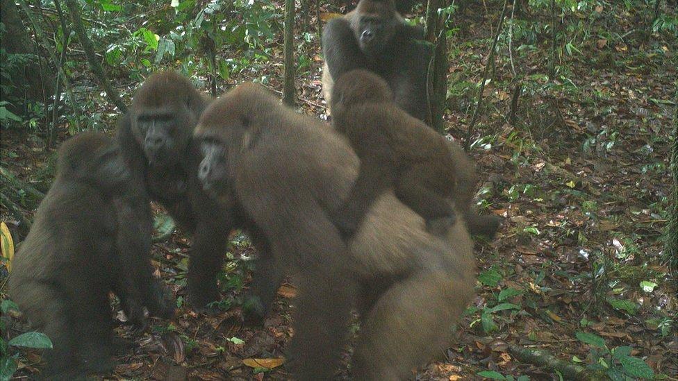 Gorilas del río Cross