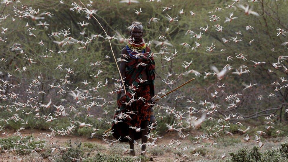 2020, belalang, afrika