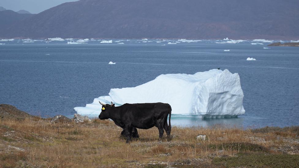 ganado en Groenlandia