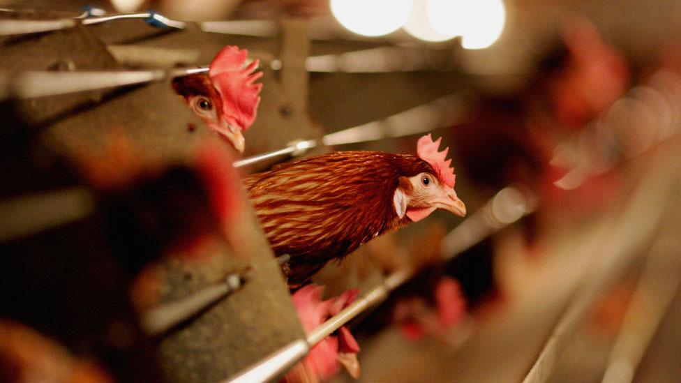 Criadero de gallinas