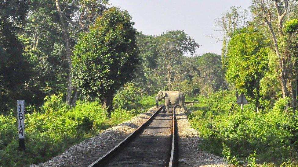 Gajah liar di India menghadapi berbagai risiko termasuk tertabrak kereta.