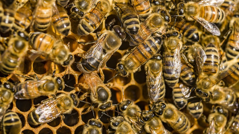 Honeybee venom 'kills some breast cancer cells' thumbnail
