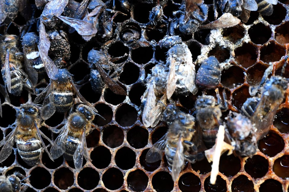 The fall in global bee number has been linked to the use of neonicotinoid insecticides