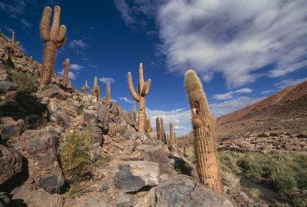 Кактуси в чилійській пустелі.