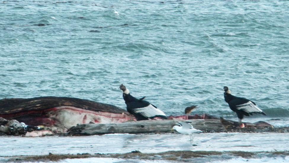 Cóndores alimentándose de los restos de una ballena filtradora