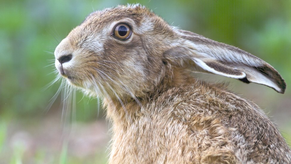 Hares 'dying' from mystery illness warns conservation expert - BBC News