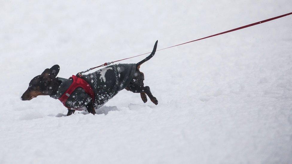 Jazavac u snegu