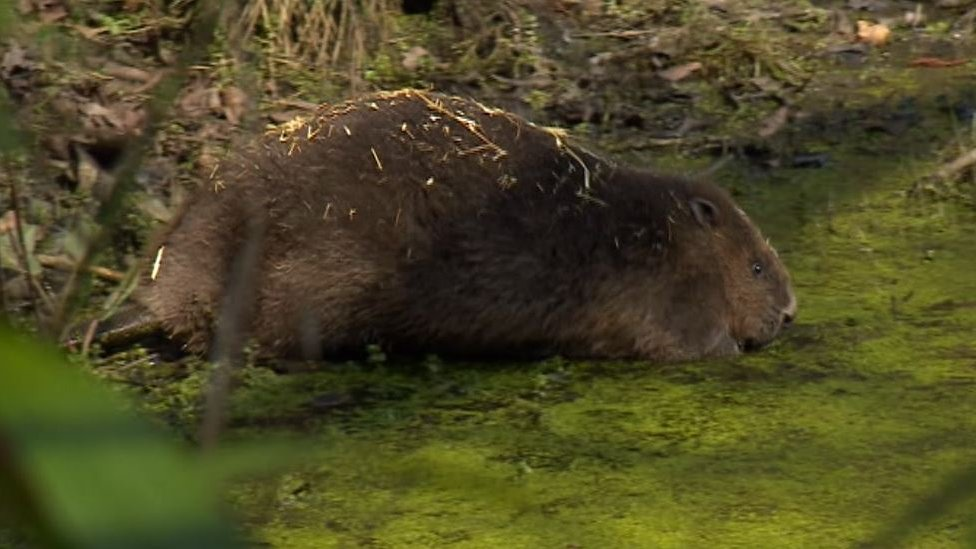 Beavers released in Yorkshire anti-flooding trial