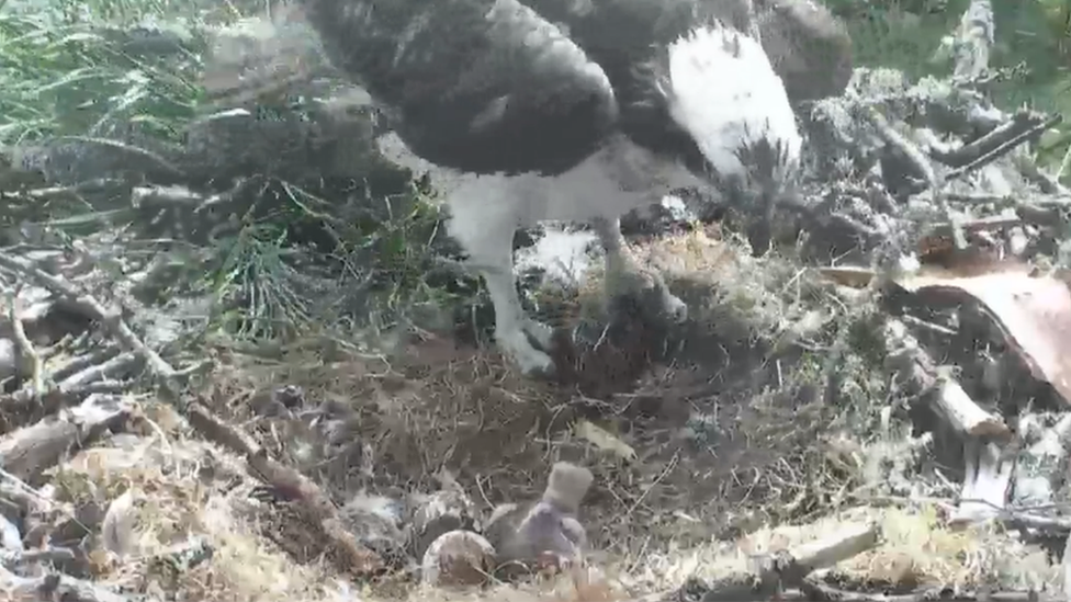 First osprey chick hatches at Loch of the Lowes reserve