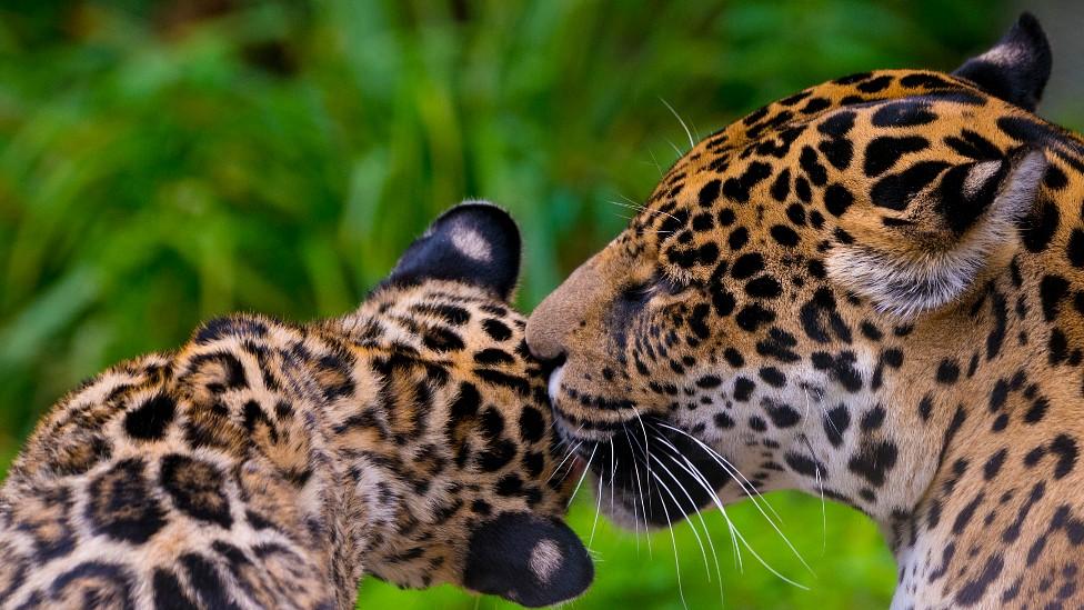 Jaguar hembra lamiendo a su cría