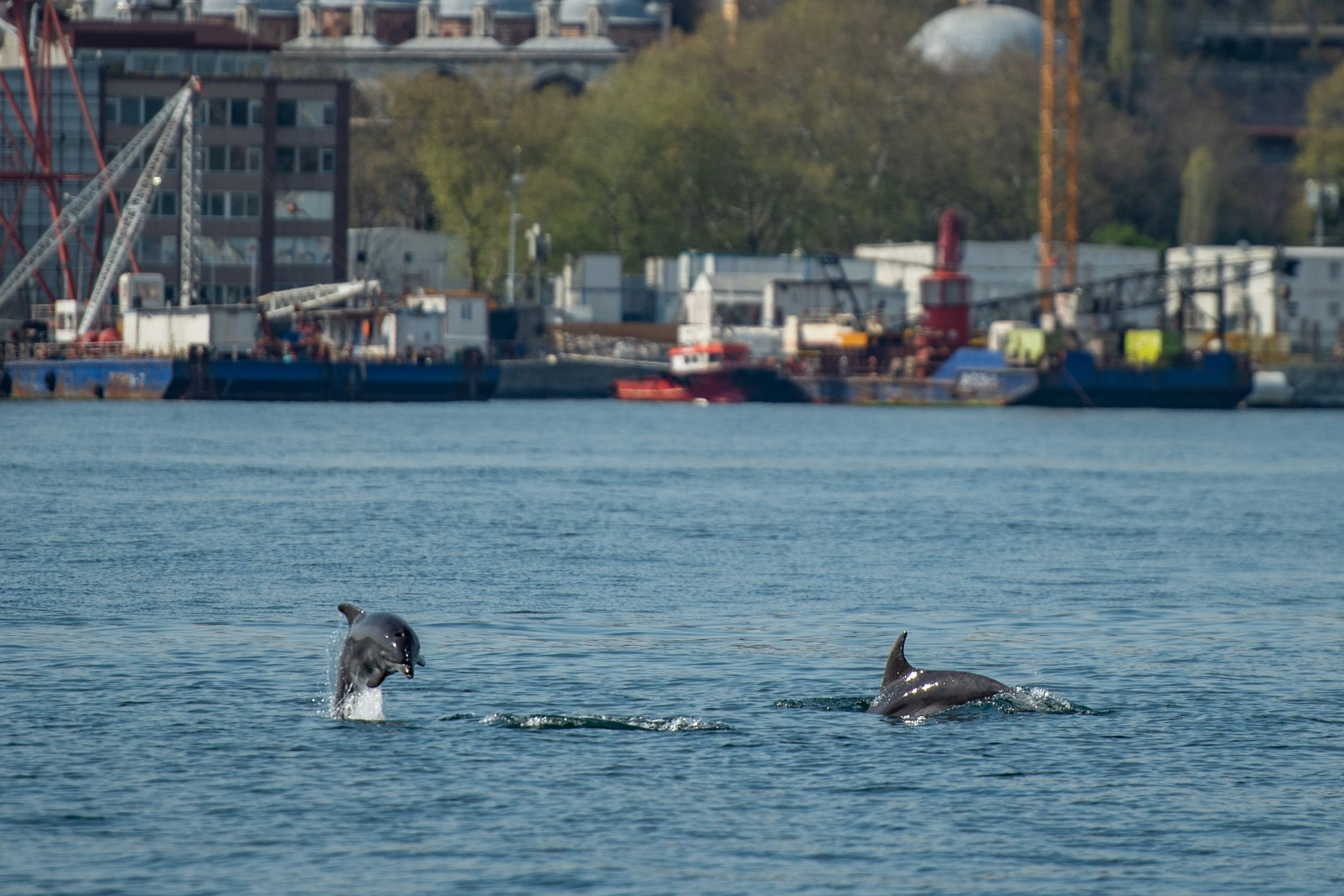 Residents of Istanbul say dolphins are coming further up the Bosphorus than usual