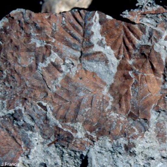 Fósiles de hojas de hayas