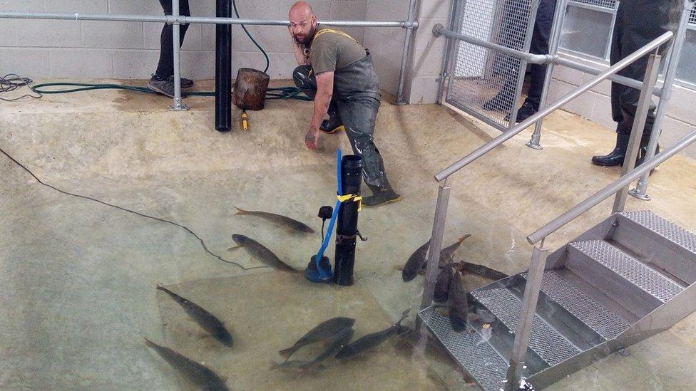 rescued carp