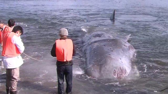 Whale beached on western Japanese coast