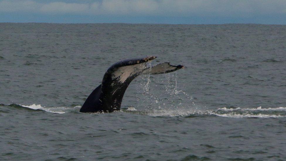 鯨魚的尾巴