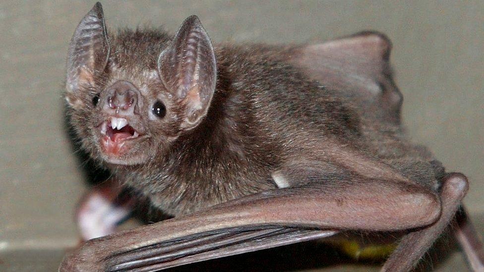 A vampire bat