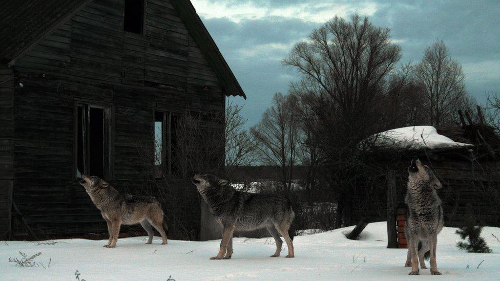 Lobos en la zona de exclusión.