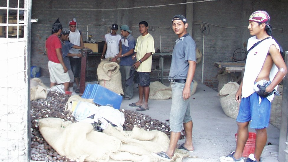 Ecuadorian farmers sorting out tagua seeds