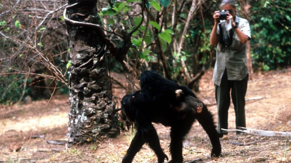 Džejn Gudal istražuje šimpanze u Nacionalnom parku Gombe na severu Tanzanije