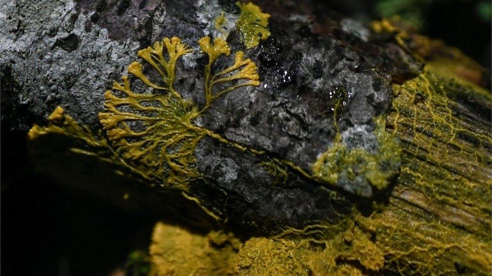 """Una foto con el physarum polycephalum o """"blob"""""""