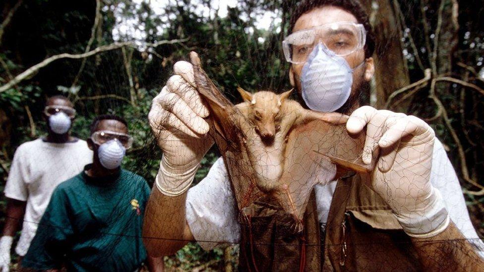 مثل تفشي فيروس إيبولا، يُعتقد أن سلف فيروس كورونا كان مرضا تنقله الخفافيش البرية