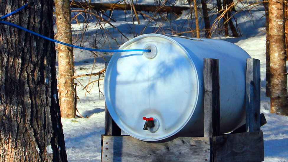 A tank containing maple tree sap