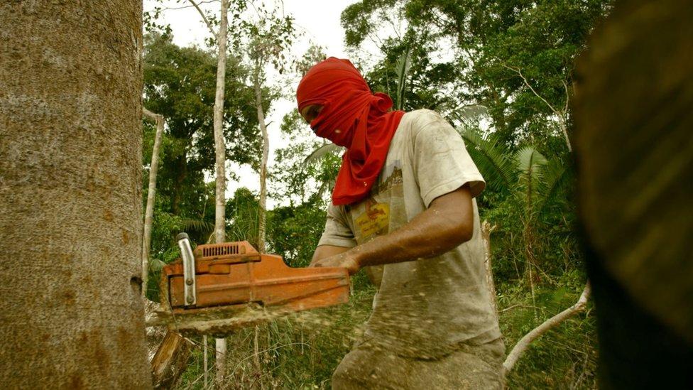 Madeireiro corta árvore com motosserra