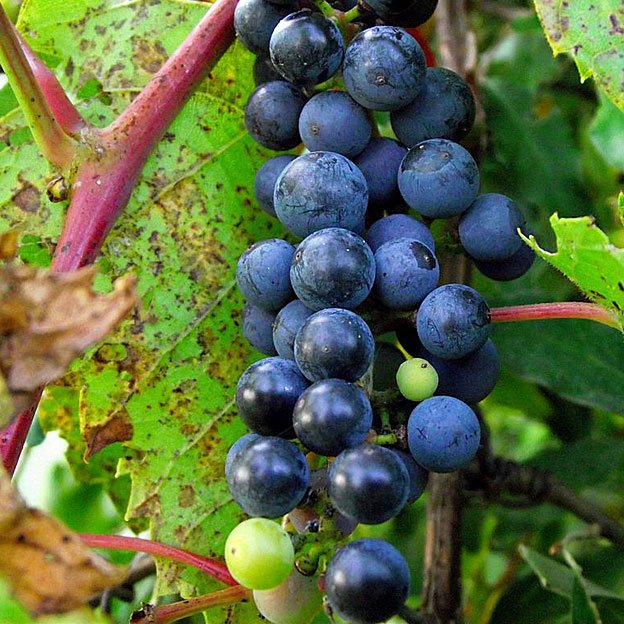 frost grapes