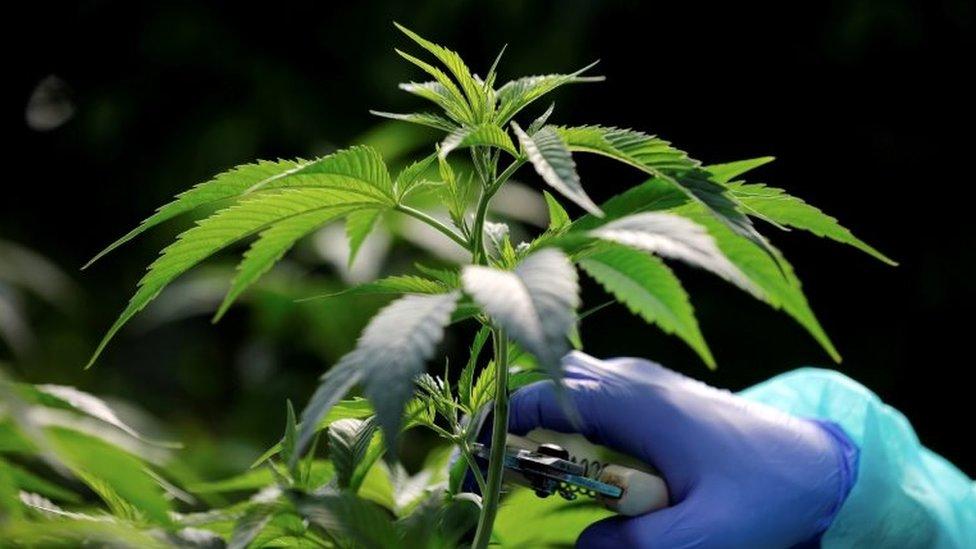 以色列一家藥用大麻種植公司的大麻