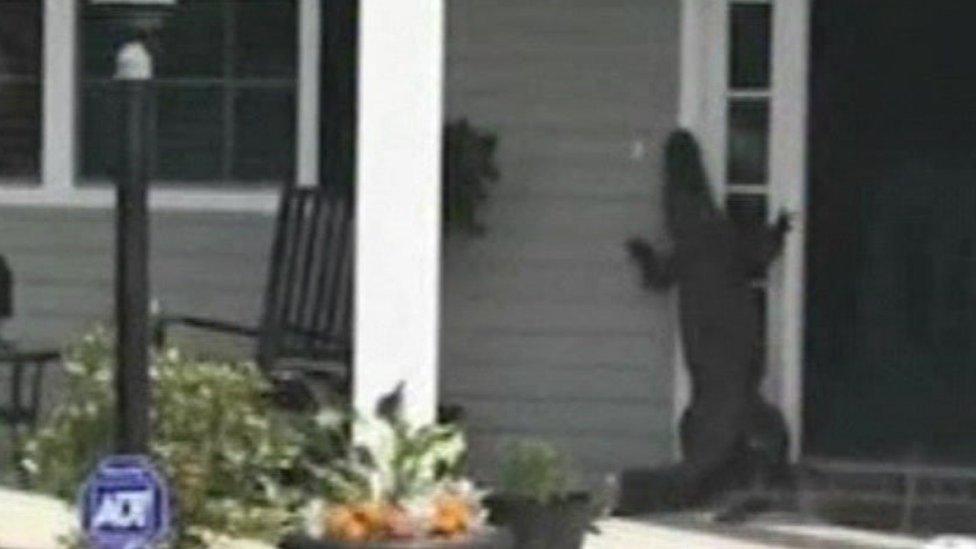 Alligator at a house in South Carolina