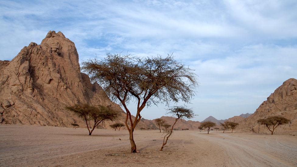 Árbol de acacia en el desierto en Egipto